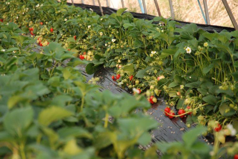 Способы выращивания клубники круглый год 44