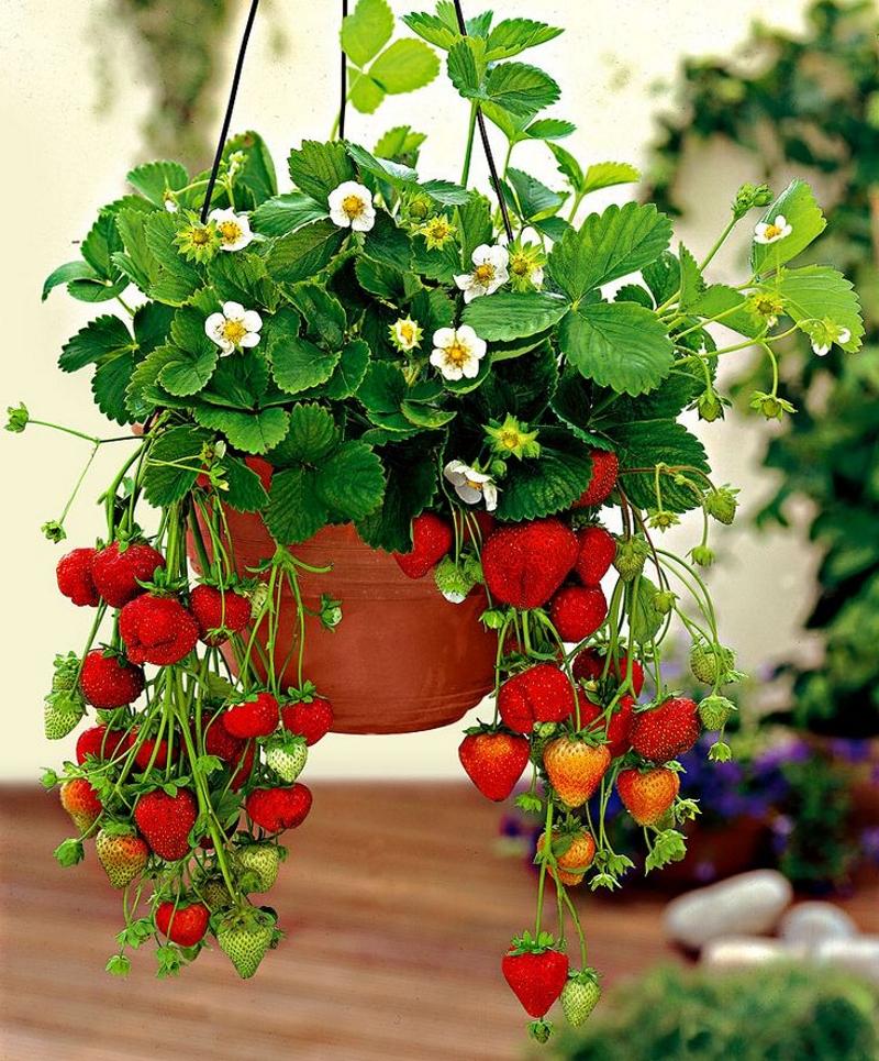 Выращивание клубники ампельным способом
