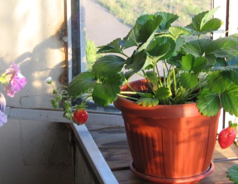 Выращивание клубники на балконе в горшке
