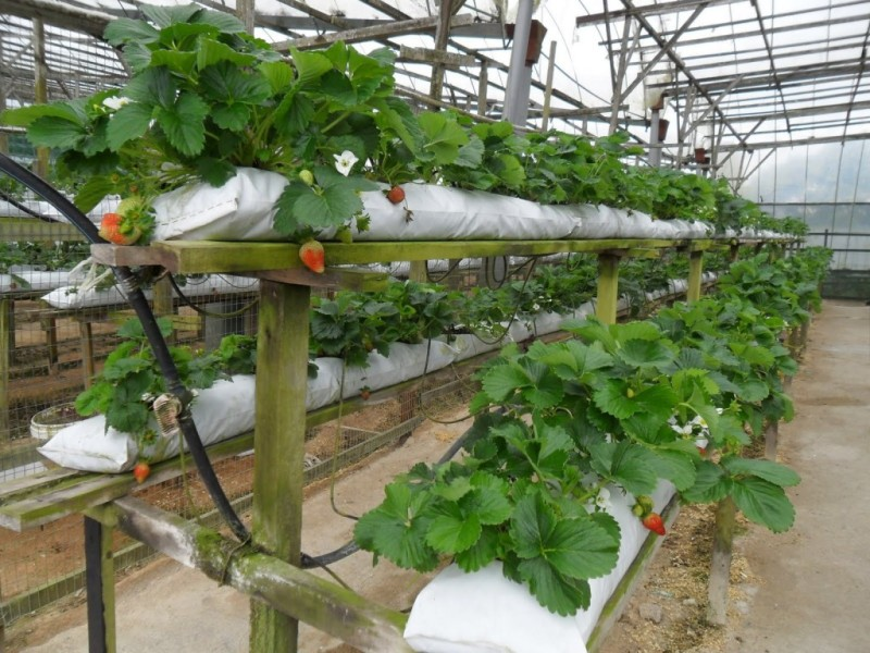 Голлландская технология выращивания