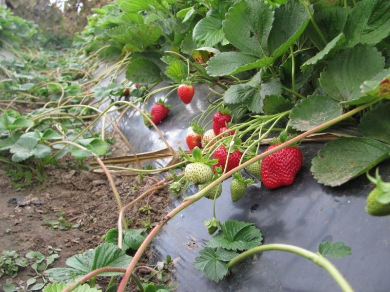 Сорта и технология выращивание клубники 214