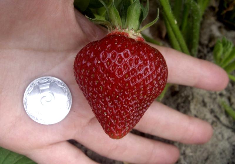 Размер ягод клубники Хоней