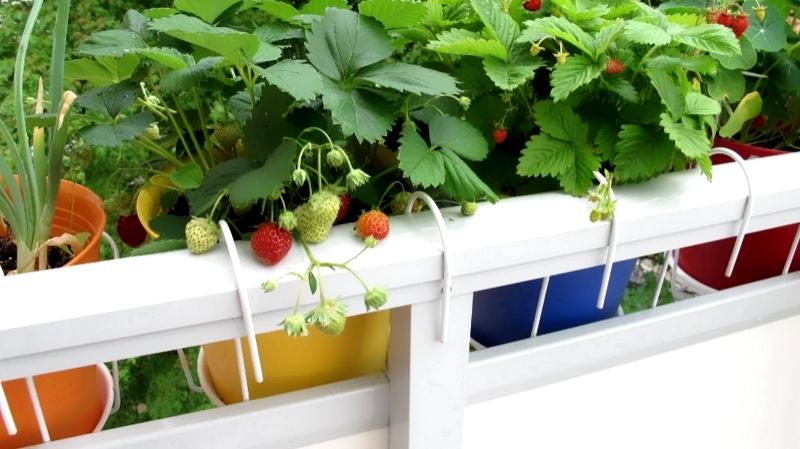 Выращивание клубники на балконе