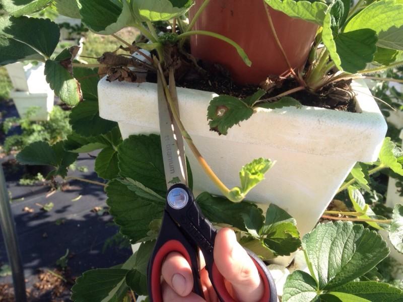 Обрезание старых листьев клубники