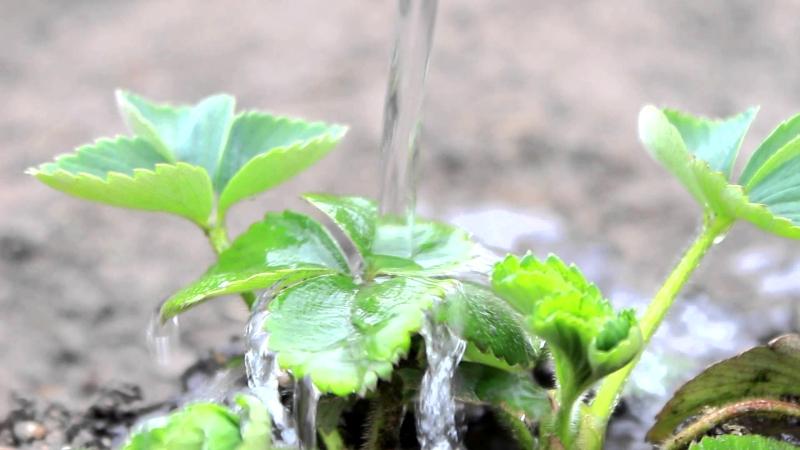 Обильный полив куста клубники