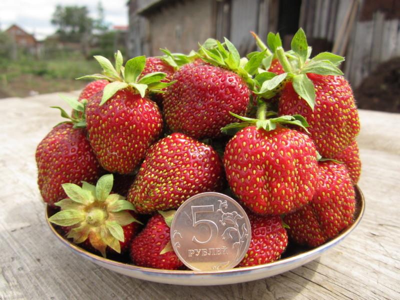 "Размер ягод сорта ""Марышка"""