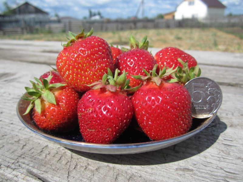 Размер ягод клубники сорта Фестивальная