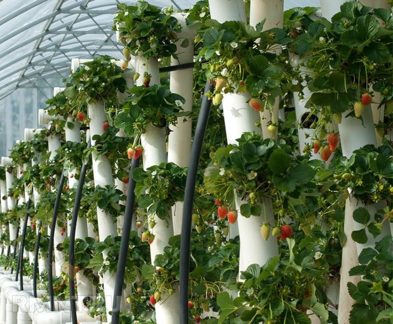 Вертикальное выращивание клубники в трубах