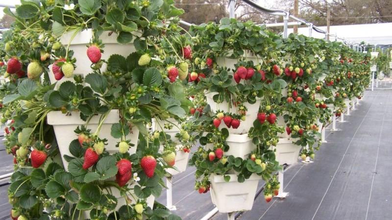 Вертикальное выращивание клубники в теплице в горшках
