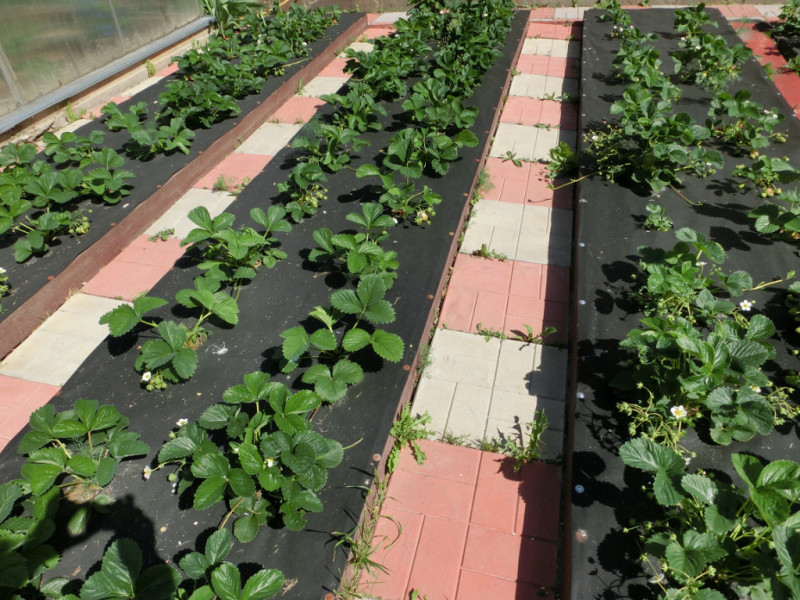 Видео как сажать клубнику на агроволокно видео