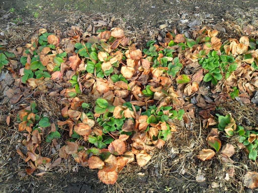 Земляника садовая выращивание и уход после сбора урожая 51
