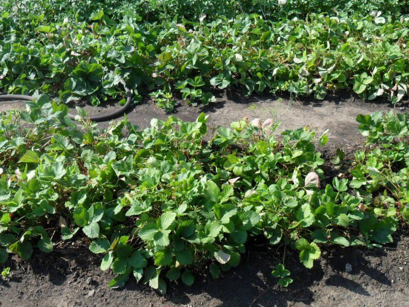 Кусты клубники после сбора урожая