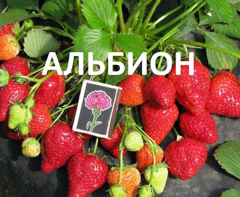 """Размер ягод """"Альбион"""""""