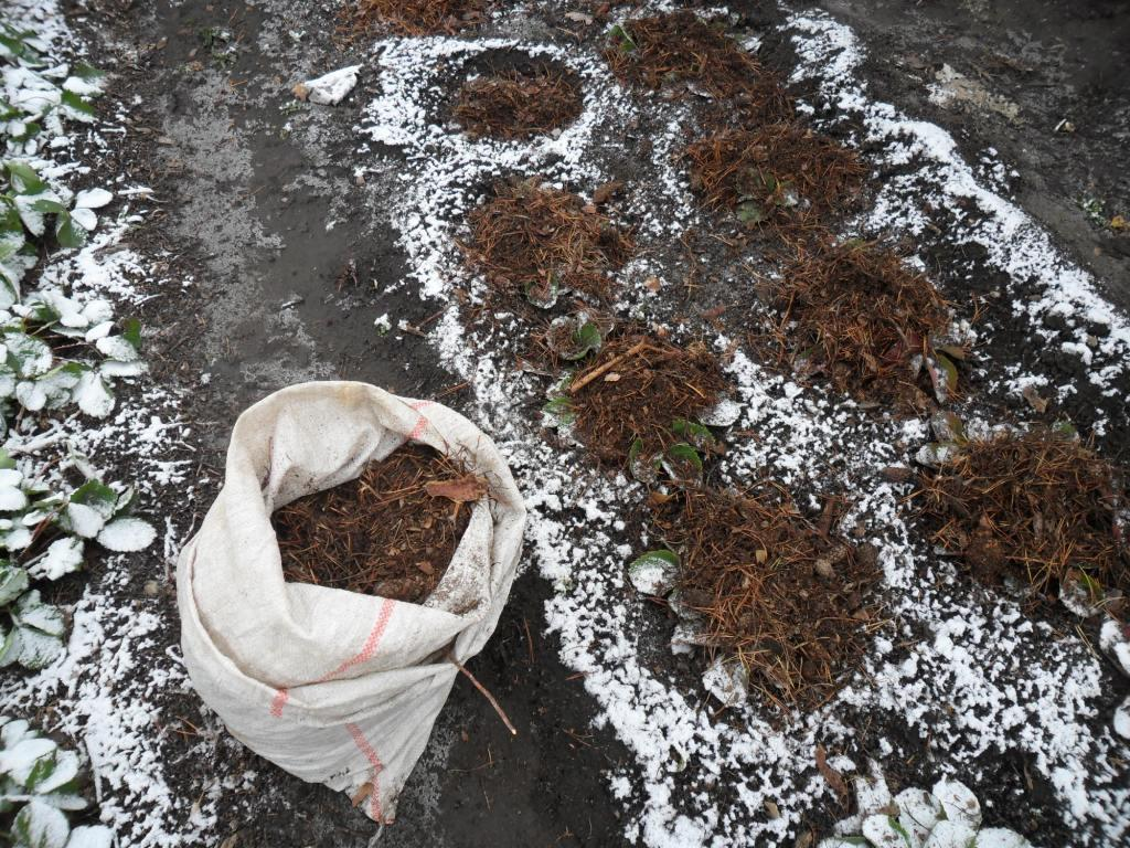 Укрытие кустов клубники компостом с хвоей