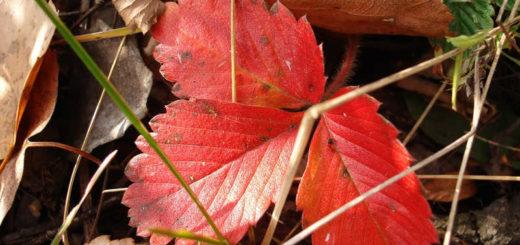 Кусты клубники осенью