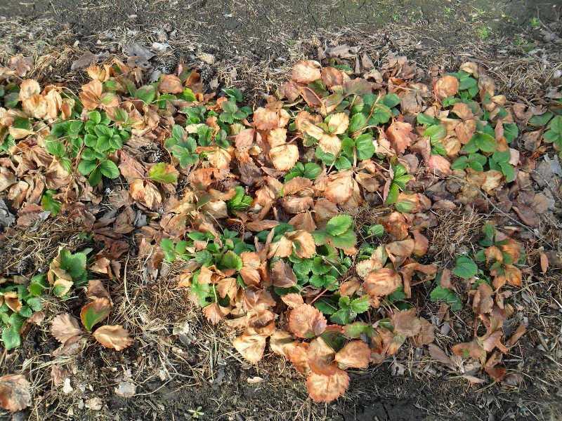 Укрывание кустов клубники старыми листьями