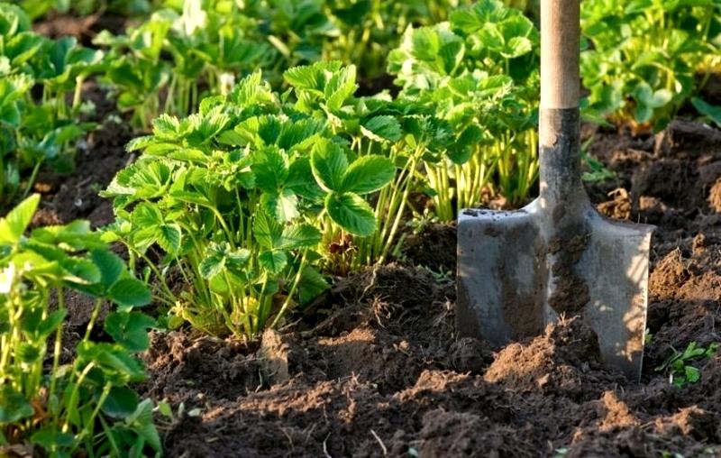 Рыхление почвы вокруг кустов клубники