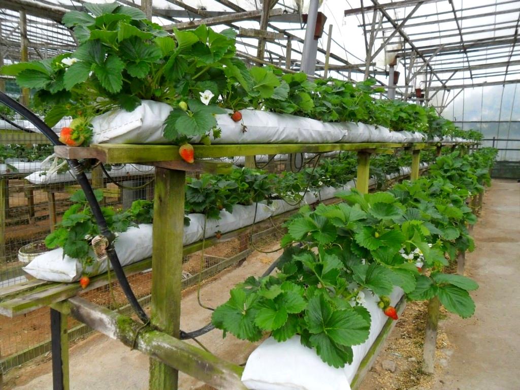 Сорта и технология выращивание клубники 390